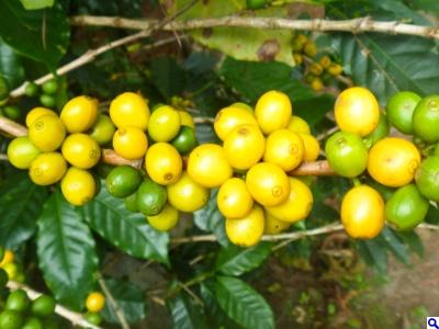 Bourbon Varietal Coffee