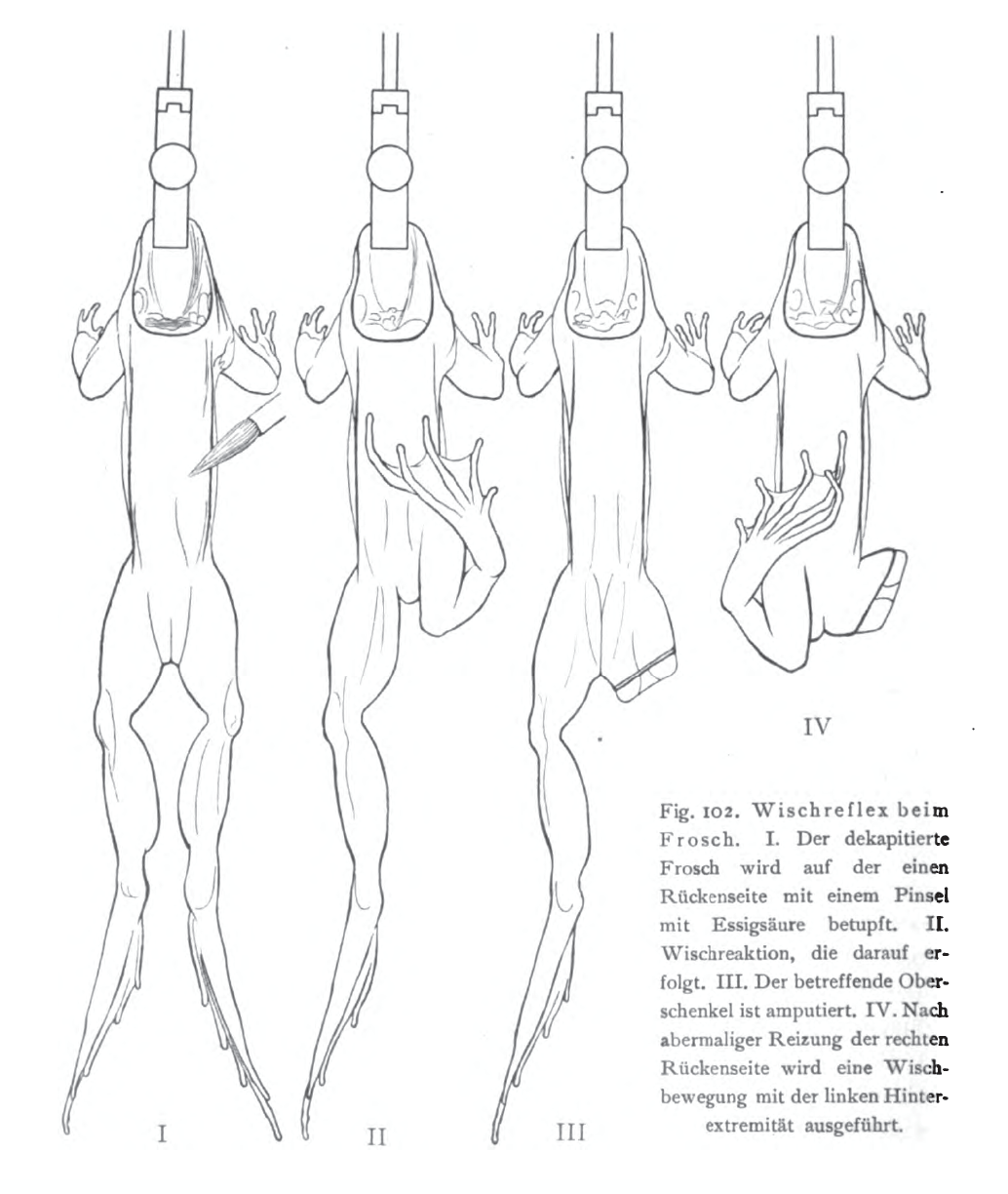 Diagram Of Frogs Leg - Complete Wiring Diagrams •