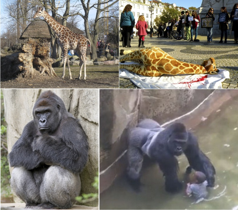 should animals be kept in the zoo On the other hand, some people argue that animals should be kept in zoos nowadays, forests and mountains have been cut down by people if we leave animals alone, they might have nowhere to find food and nowhere to live.