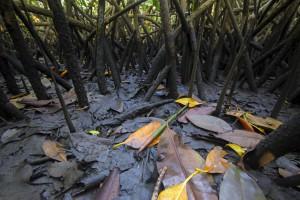 Mangroves05