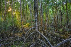 Mangroves06