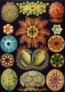 Haeckel01